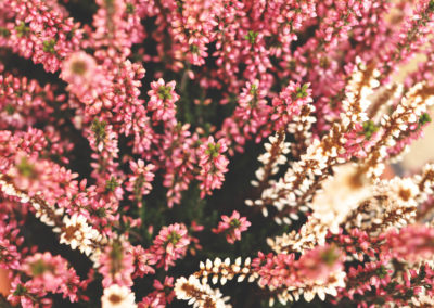 Picture of pink and white flowers