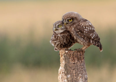 Two owls sitting on a tree trunk
