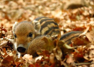Stripy wild pigglets sittin on wild leaves
