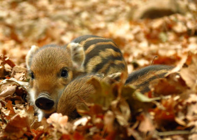 Stripy wild pigglets sittin on wild leaves